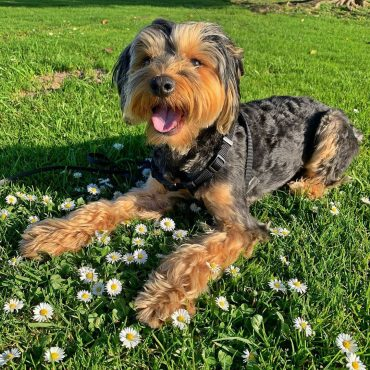Meet Cookie, the Schnauzer Yorkshire Terrier mix