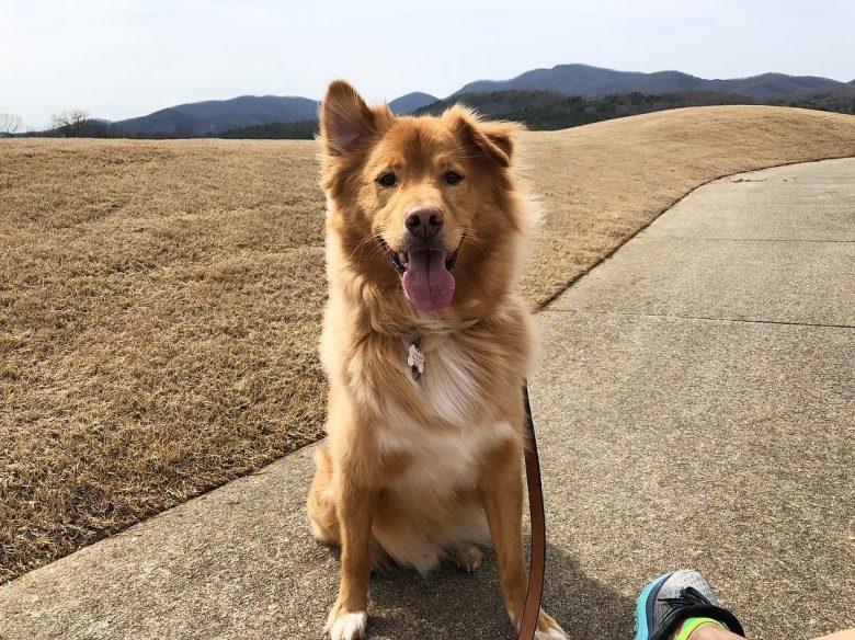 Meet Cody, the Shiba Inu & Golden Retriever mix