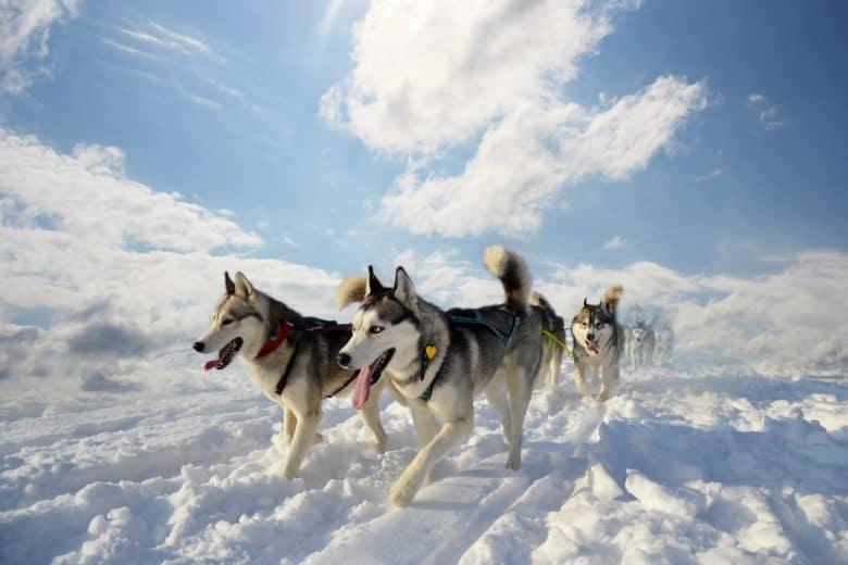 Meet the pack of Siberian Huskies
