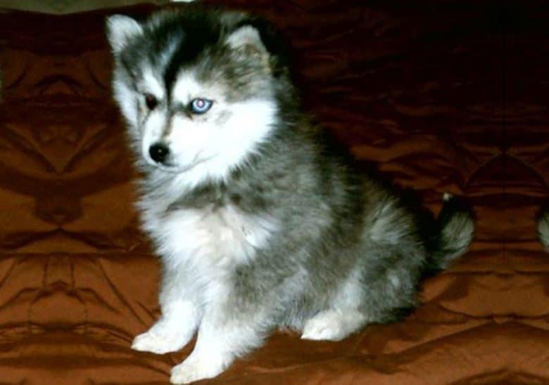 Miniature Husky puppy sitting