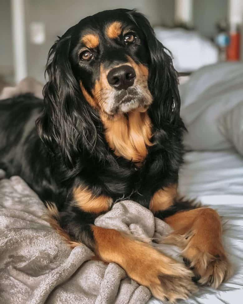 Meet Layla, the Springer Spaniel & Golden Retriever mix