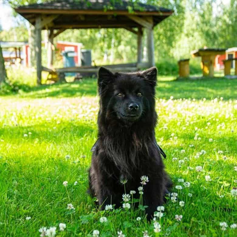 Meet the Swedish Lapphund