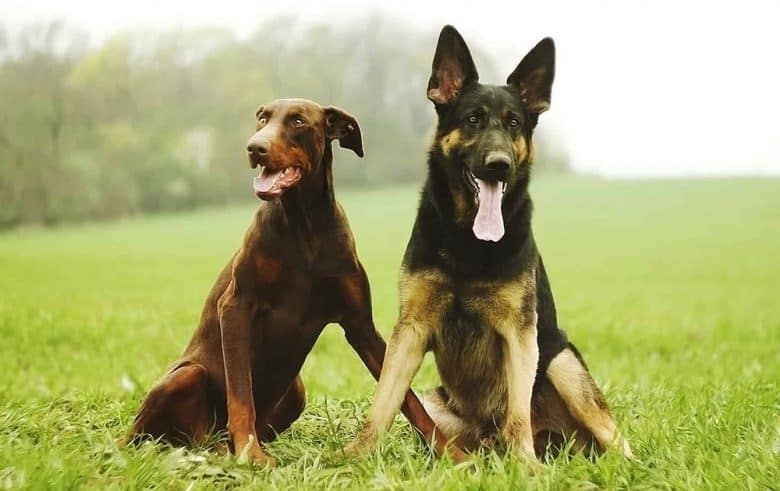 The Doberman Pinscher and German Shepherd hanging out together
