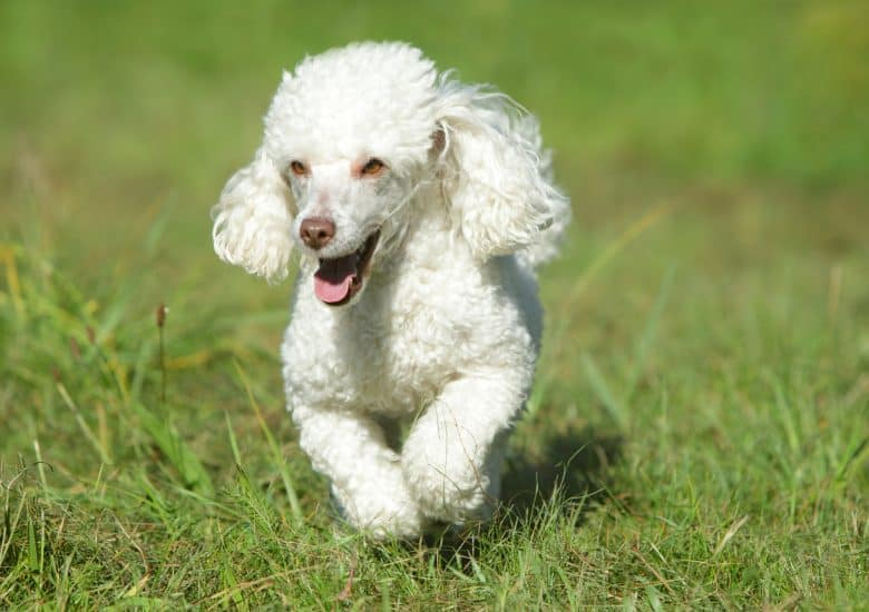 White Poodle running on fields