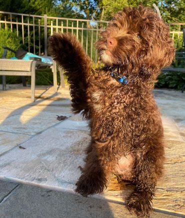 Meet Milo, the Mini Aussiedoodles