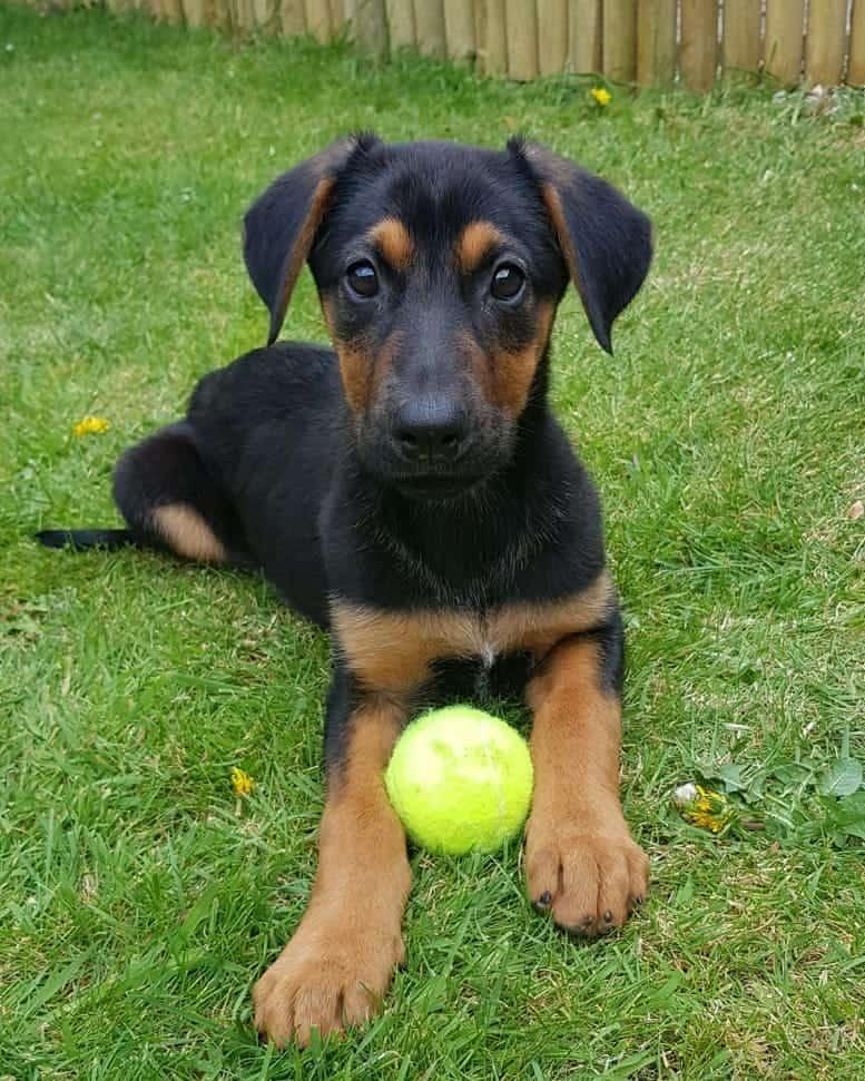 German Shepherd Doberman puppy