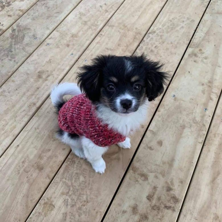 Meet Nellie, the Papillon Chihuahua mix