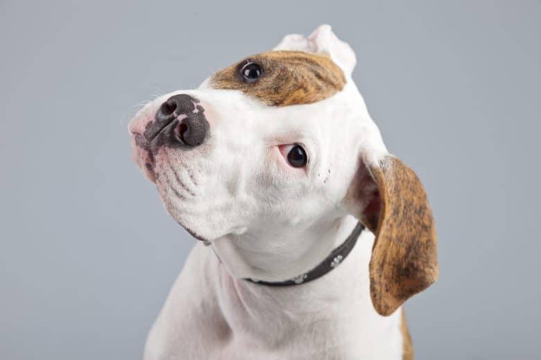 Meet the White American Bulldog puppy