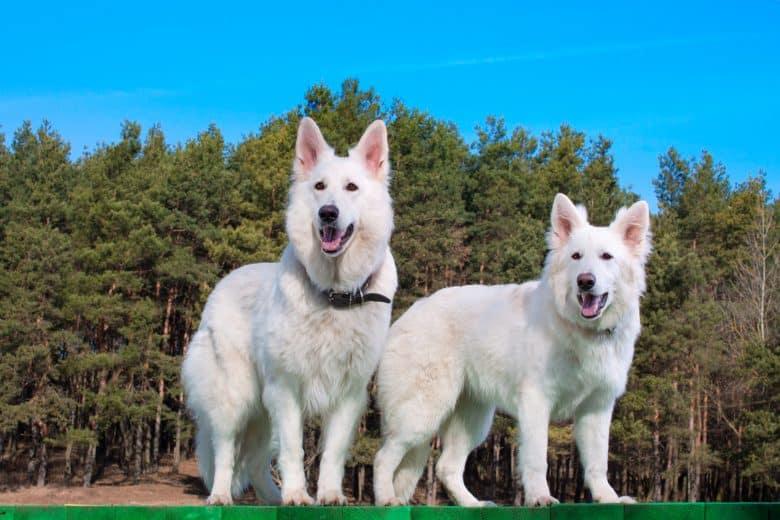 Meet the stunning snowy White Swiss Shepherd dogs