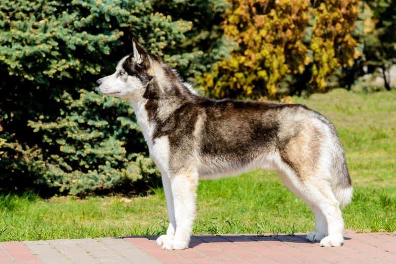 Meet the Yakutian Laika