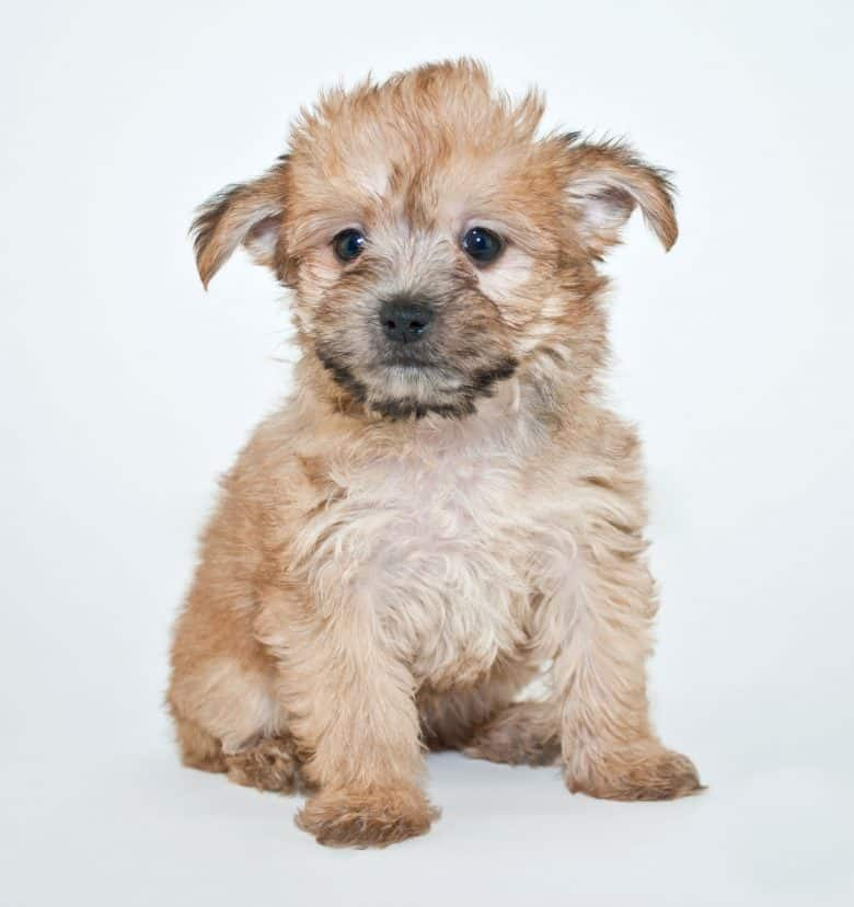 Sweet little Yorkie Poo puppy sitting on a white background.