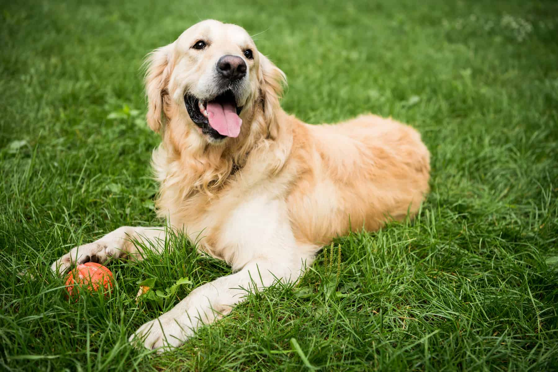You Need To See These 4 Dazzling Golden Retriever Colors K9 Web