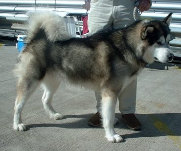 The Standard Size of an Alaskan Malamute