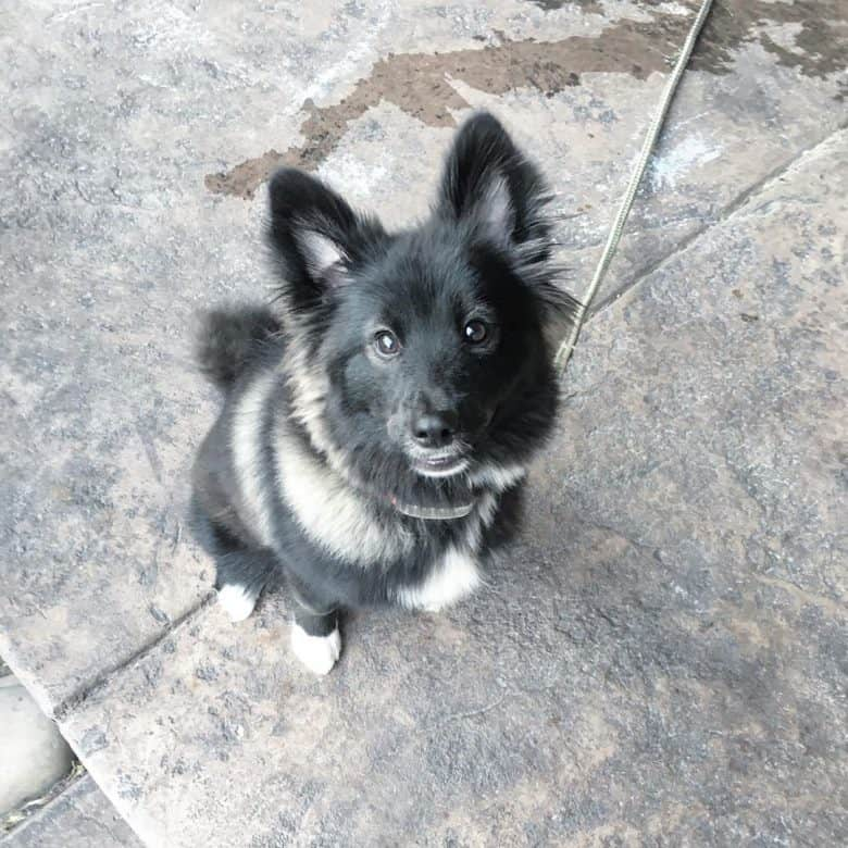 Meet the Pomeranian & Alaskan Malamute mix