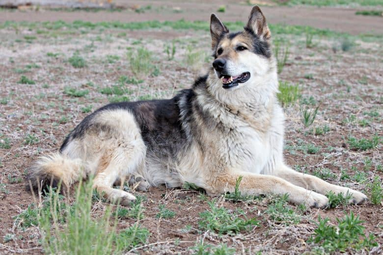 Meet the German Shepherd & Alaskan Malamute mix