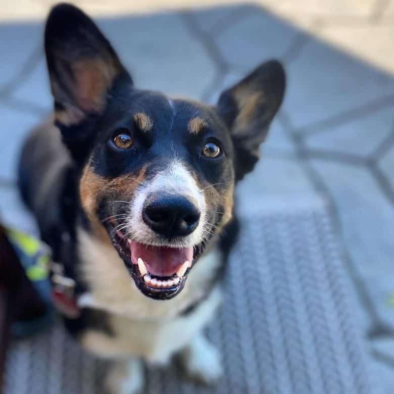 Meet Frankie, the Auggie dog