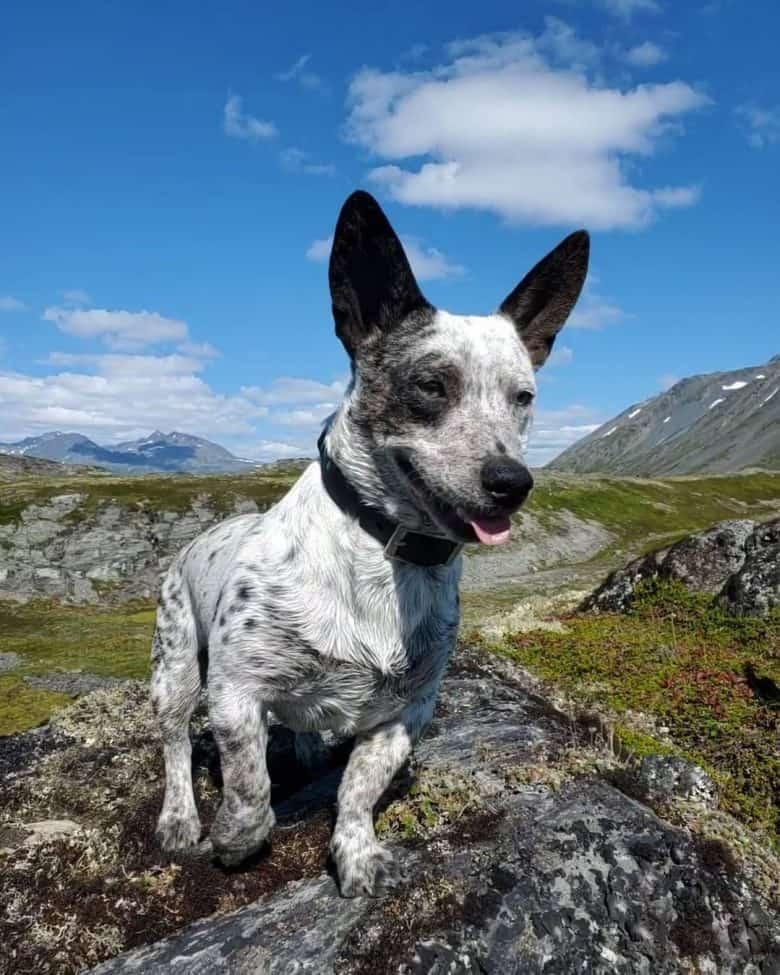 Meet Mochi, the Australian Cattle Dog Corgi mix
