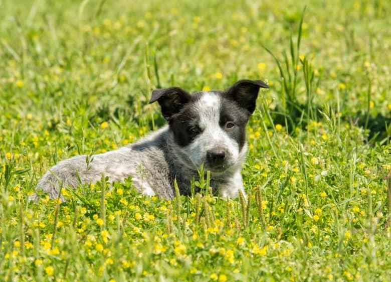 Meet the Australian Shepherd Blue Heeler