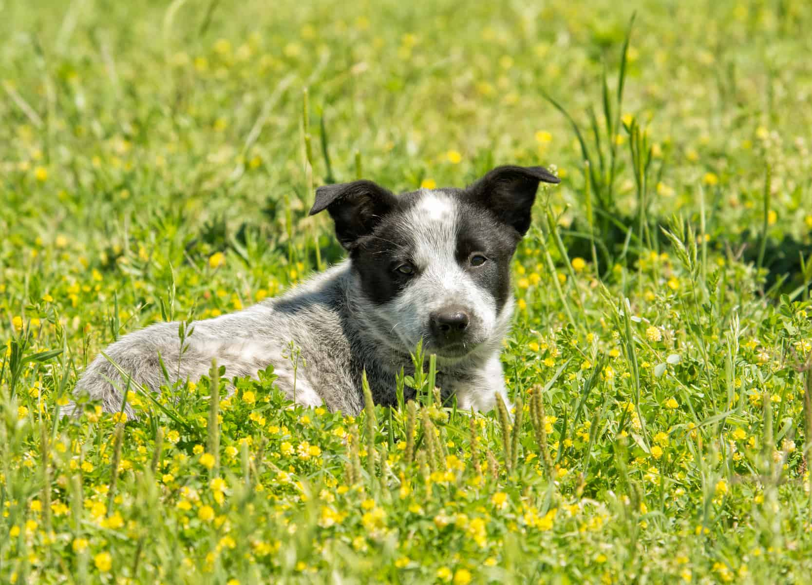 Is The Australian Shepherd Blue Heeler Mix Right For You K9 Web