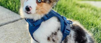 Meet the Australian Shepherd Corgi mix