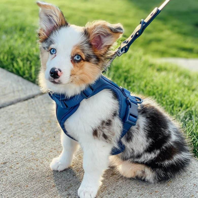 Meet Linus, the Australian Shepherd Corgi mix