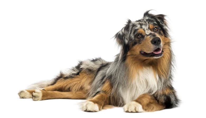 Meet the Australian Shepherd dog