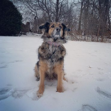 Meet Mila, the Australian Shepherd German Shepherd mix