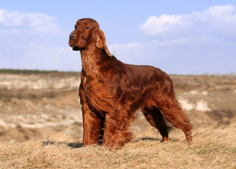 Meet the Beautiful Irish Setter