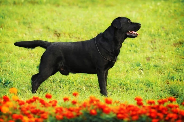 Meet the black Labrador Retriever