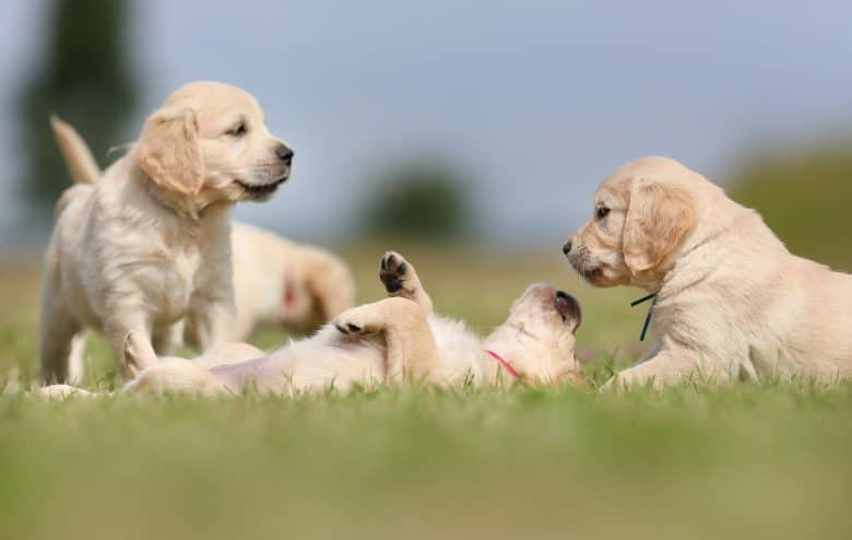 Pack of English Golden Retriever puppies