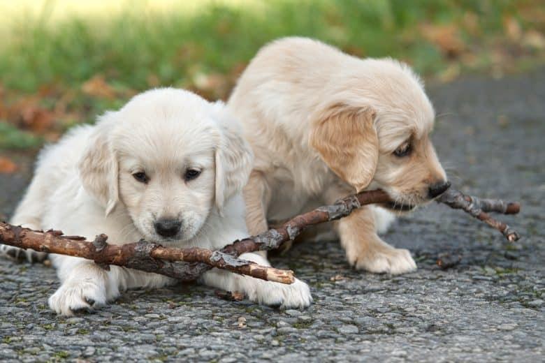 Meet the Canadian Golden Retriever puppies