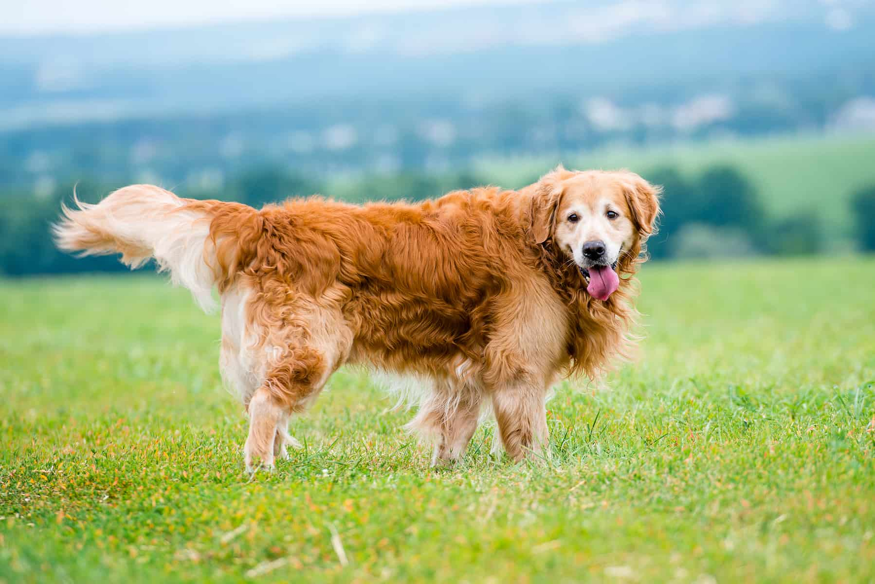 Everything You Need To Know About The Golden Retriever K9 Web