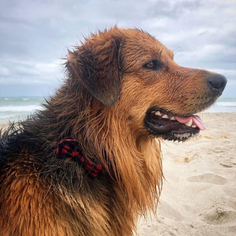 Meet Toby, the Golden Retriever Border Collie mix