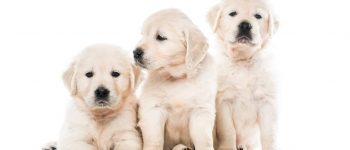 Meet the Golden Retriever puppies