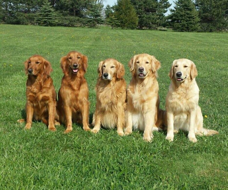 Golden Retriever colors and shades