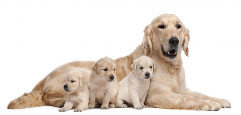 A Golden Retriever with her 3 puppies