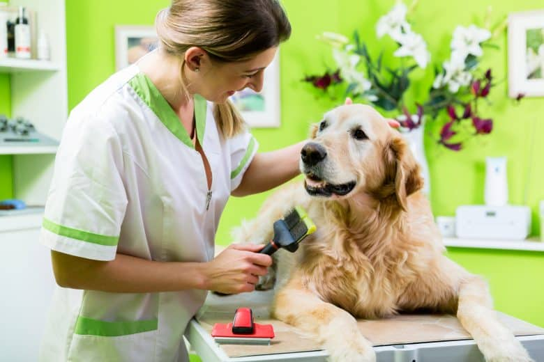 A woman grooms a Golden Retriever at dog parlour
