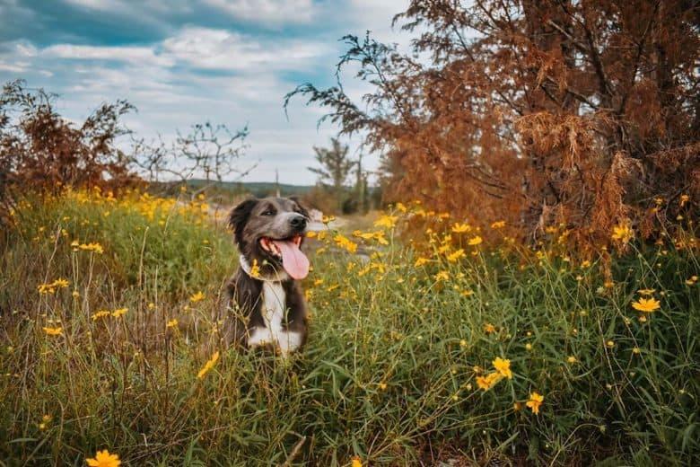 Meet Camber, the Golden Retriever Pitbull mix