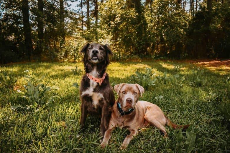 Meet the Golden Retriever Pitbull mixed breed dogs
