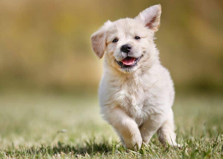 Smiling Golden Retriever puppy