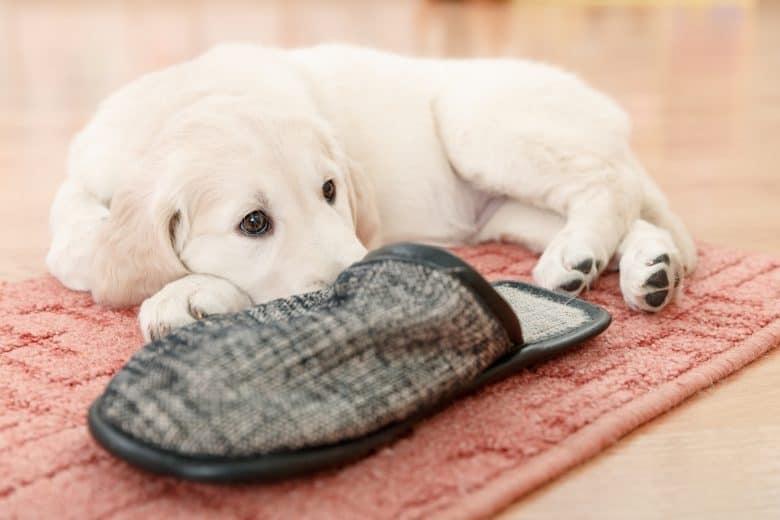 The cute Golden Retriever puppy