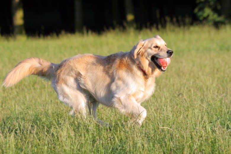 Dog supplies for Golden Retriever