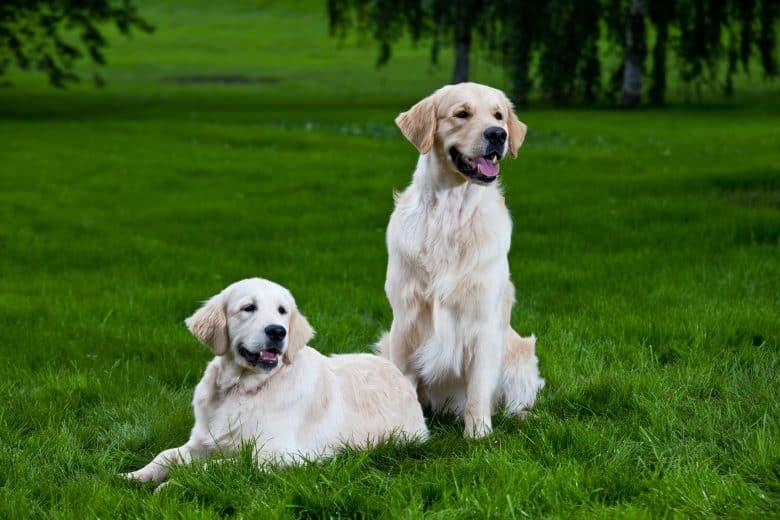 The Golden Retrievers on the green grass