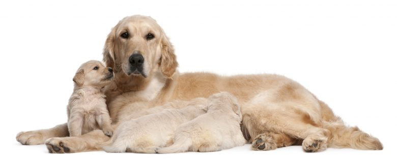 A Golden Retriever with her cute puppies