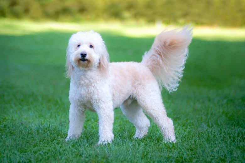 The adorable Goldendoodle