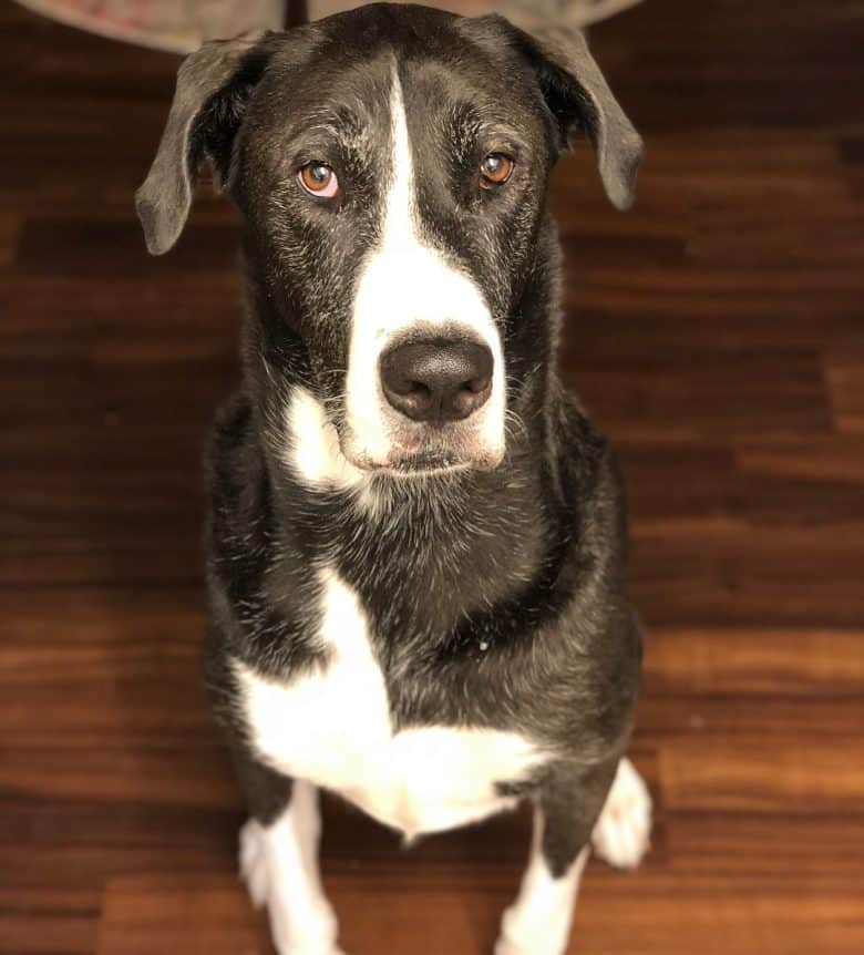 Meet the Great Dane & Alaskan Malamute mix
