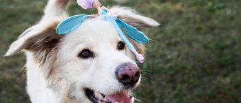 Golden Pyrenees mix dog