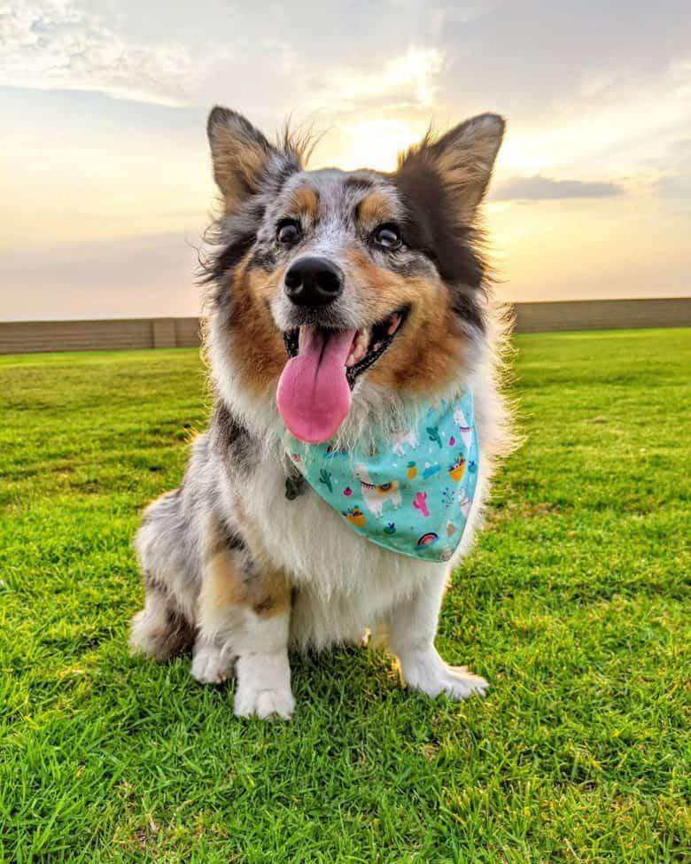 Meet Apollo, the Auggie dog