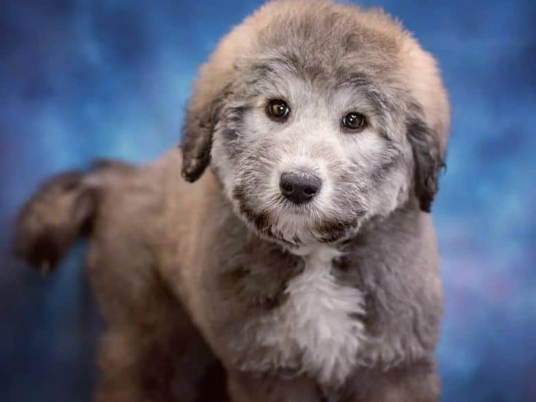 Meet the Poodle & Alaskan Malamute mix