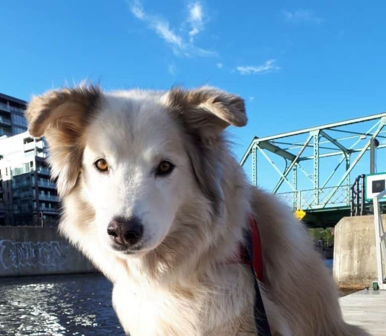 Meet the Great Pyrenees & Alaskan Malamute mix
